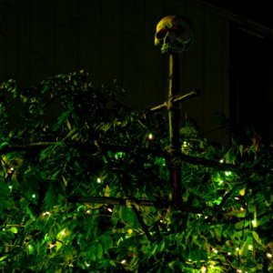 About a 10 foot tall ritual looking stake made from tree branches and twine with a skull on top, set into my wisteria vine lit with frosted green ligh